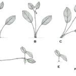 12 - Calathea_marantifolia